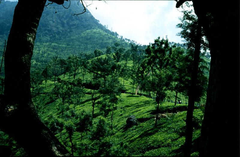 Ökologische Teeplantage in den Nilgiri-Bergen